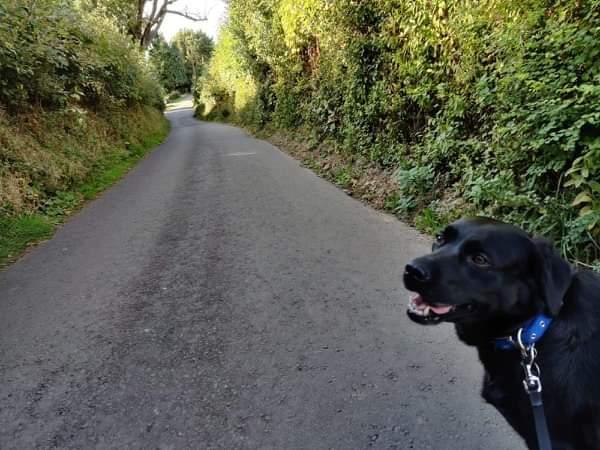 My black Labrador walking down a country lane